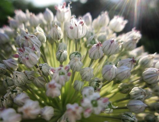 květ póku